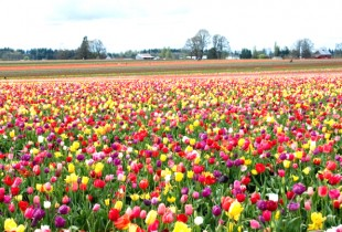 Holland Destination Management - Tulpenveld